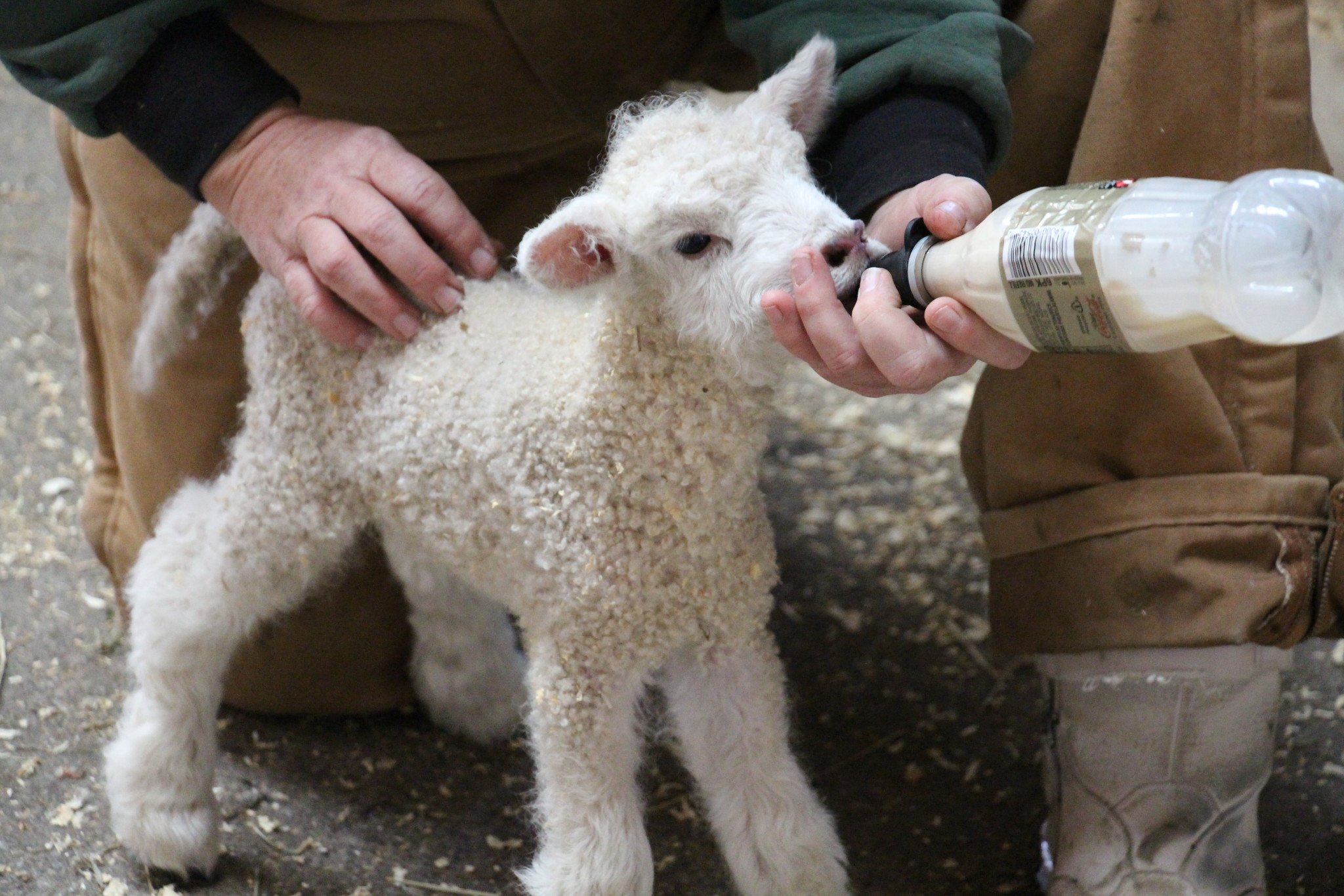 """Using the new Twitter app Periscope, we were able to live stream our triplets being bottle-fed by our Weavers and stable staff in the Blue Bell Pasture,"" Ross said in an email. COURTESY PHOTO / MAKING HISTORY BLOG TEAM"