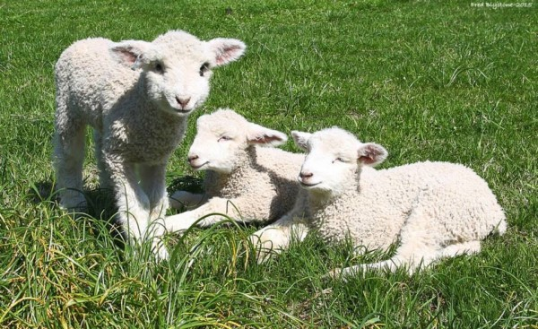 The names chosen for the lambs this year were Jamie, Yorkie and Willie, after the names of the cities in the Historic Triangle. COURTESY PHOTO / FRED BLYSTONE