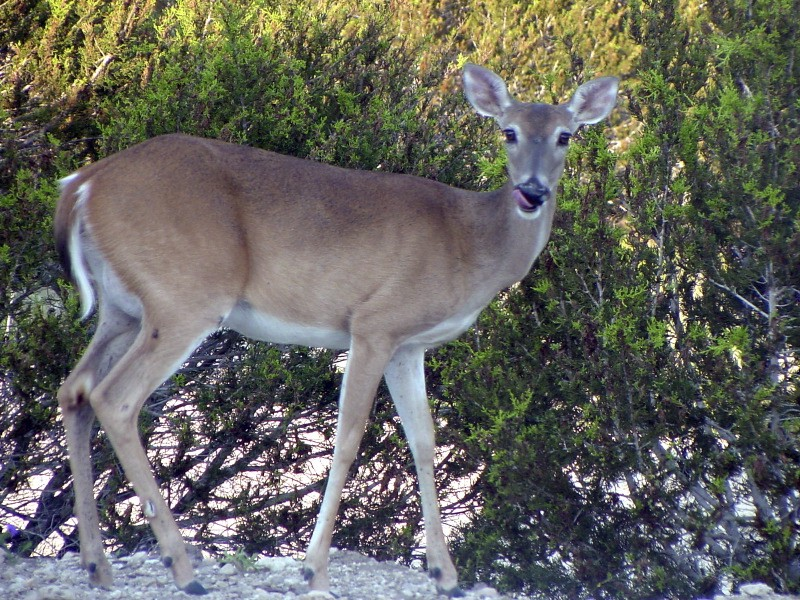 Rising deer population threatens Williamsburg environment