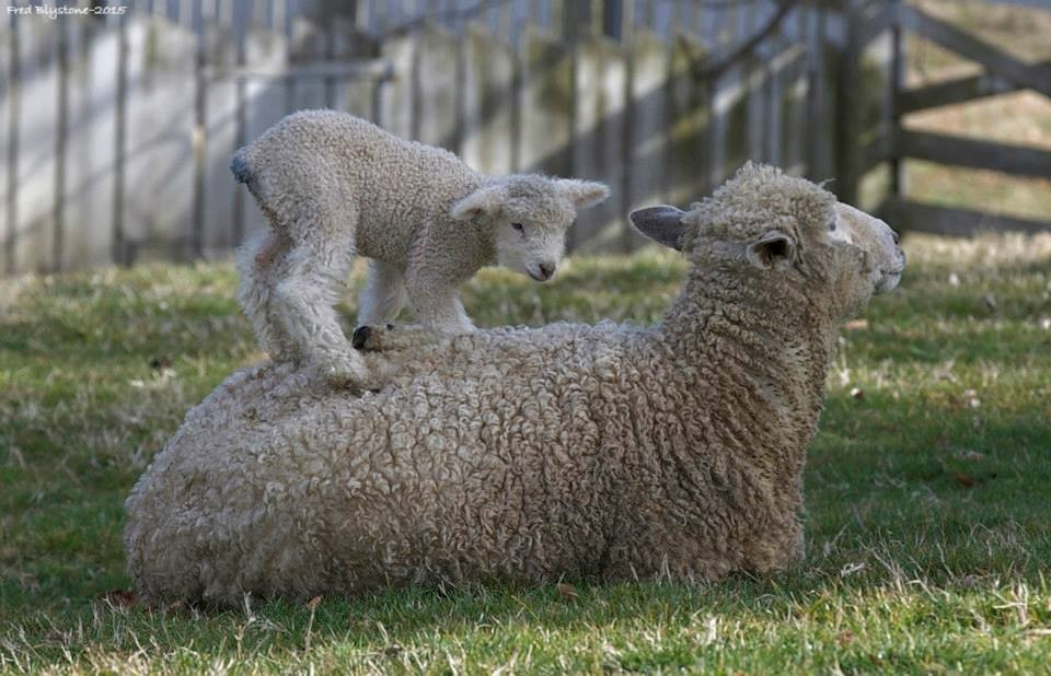 Best of the Burg: Sheep take center stage