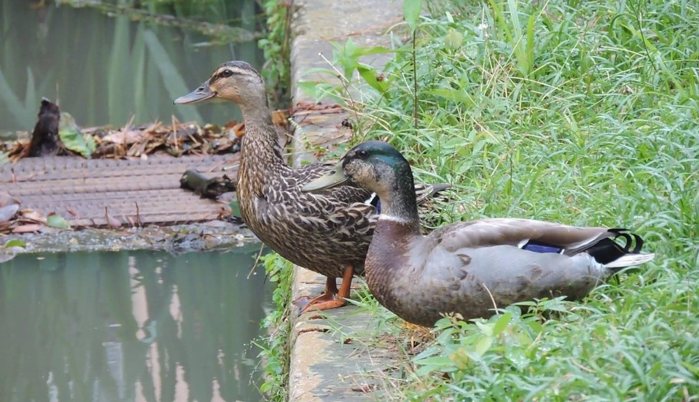 Duck Tales: How your favorite on-campus birds are living the good life