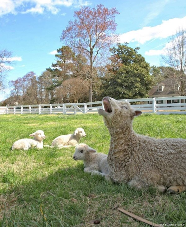 This year's sheep week was made all the more special by the fact that this year's lambs are triplets, a relatively uncommon occurrence. COURTESY PHOTO / FRED BLYSTONE